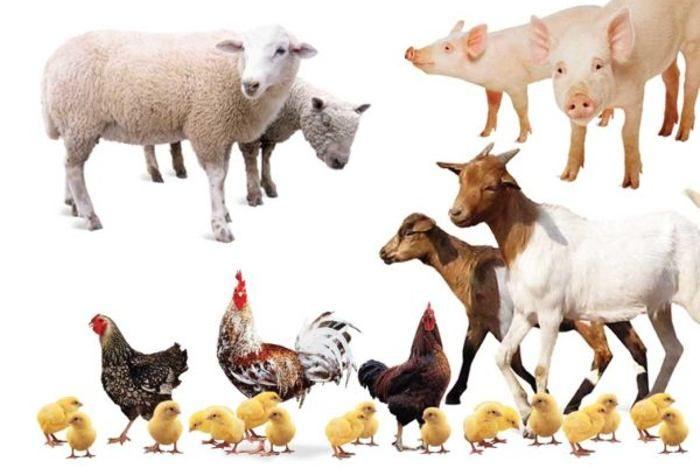 Volatili e animali d'allevamento